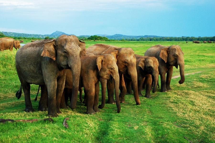 Minneriya_National_Park_In_Sri_Lanka